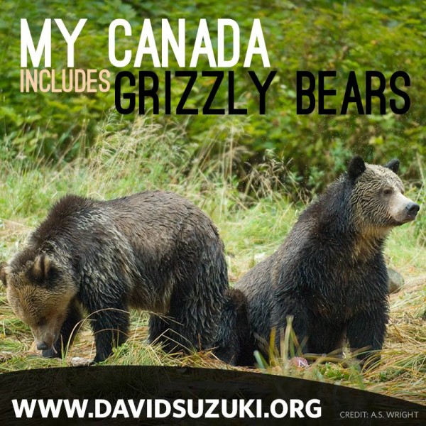 Human-caused mortality is the greatest source of death for grizzly bears and is the primary factor limiting grizzly bear populations. The federal Committee on the Status of Endangered Wildlife in Canada lists grizzly bears as a species of special concern.