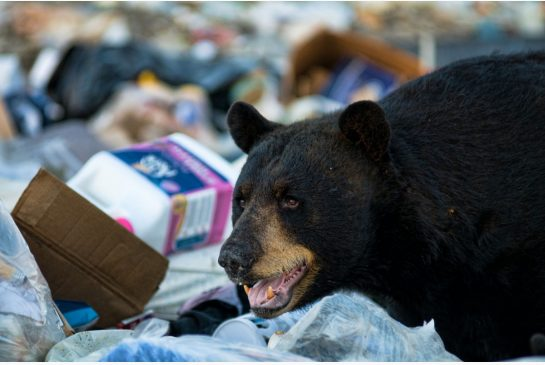 Photo Dreamstime  In 2012, the cash-strapped Liberal government cancelled its only substantive program for handling nuisance bears, something called trap and relocate, writes Thomas Walkom.