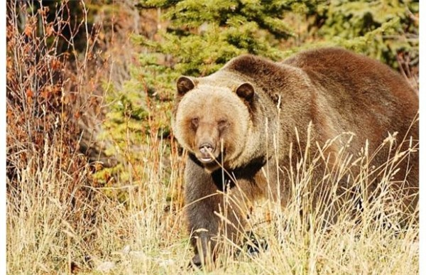 A study published last winter found that almost a third of the 3,500 grizzlies shot by trophy hunters across British Columbia from 2001 to 2011 were females.