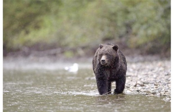 In 2001, about 50 bears were killed. By 2007, the annual kill was more than 350. The government claims killing up to six per cent of grizzlies a year is sustainable based on its estimate of 15,000 bears, writes Stephen Hume.