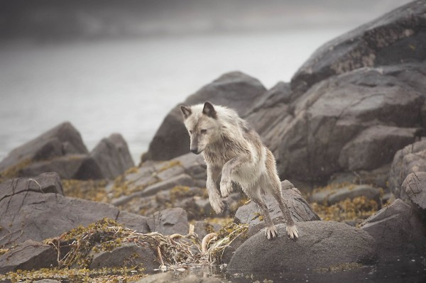 wolf-fishing-for-herring-100res_11
