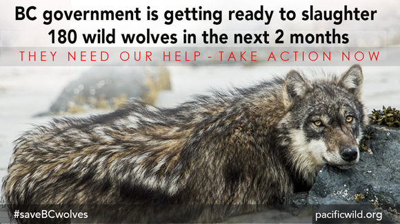 BC Government Is getting Ready to Slaughter 180 Wolves over next two months