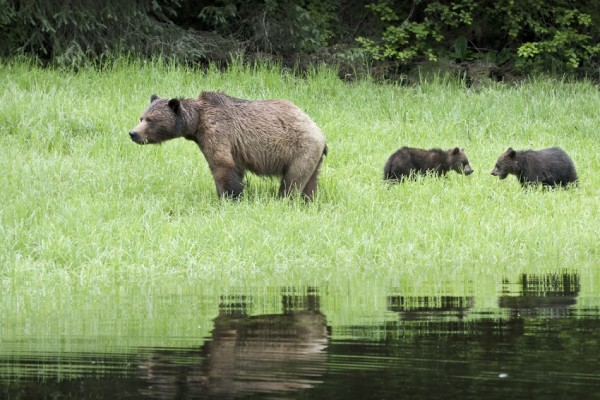 Grizzly photo by Andrew Wright in the Great Bear Rainforest.