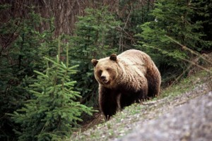 grizzly_bear_photo_by_bc_parks