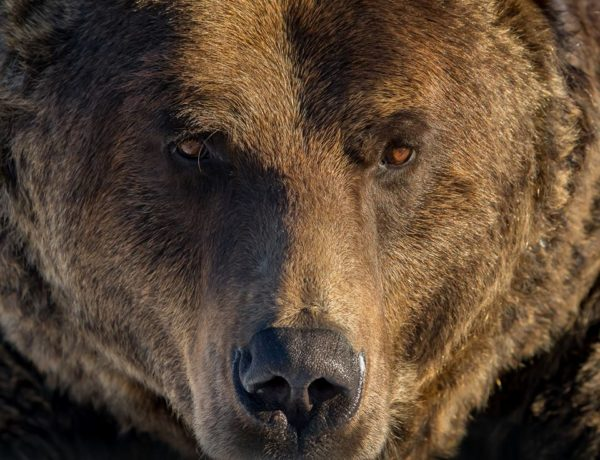 Halting the Grizzly Killing in BC!